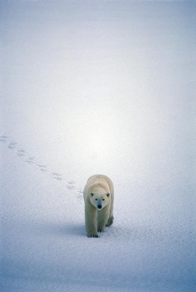 Polar Bear walking in snow