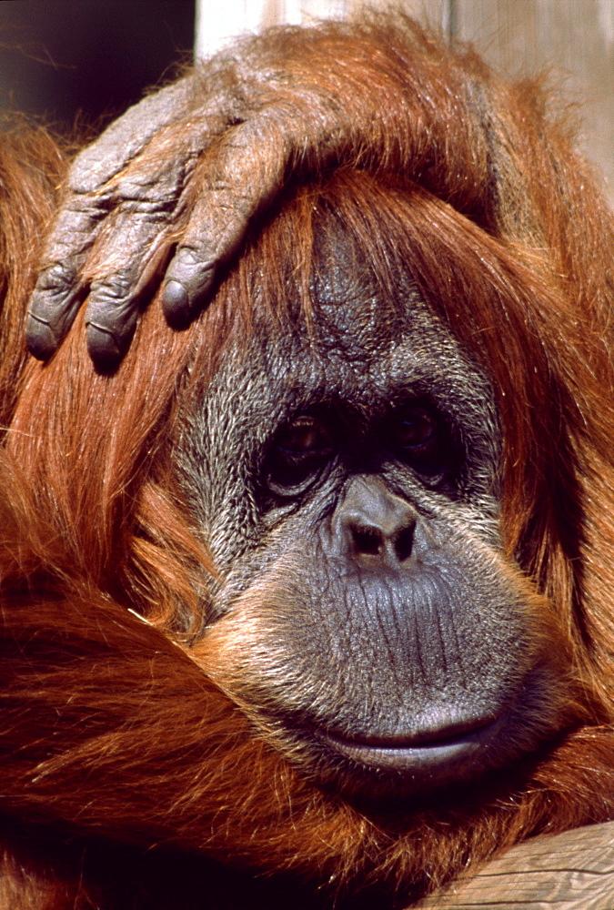 Orangutan headshot