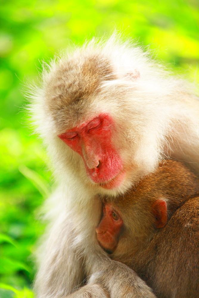 Japanese Macaque, Nagano, Japan