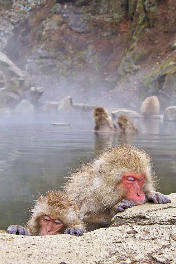 Japanese monkeys