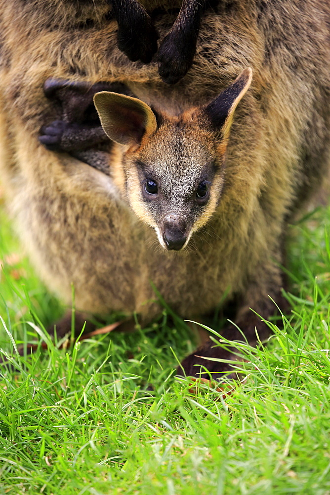 Agile Wallaby, (Macropus agilis), young looking out of pouch, Cuddly Creek, South Australia, Australia