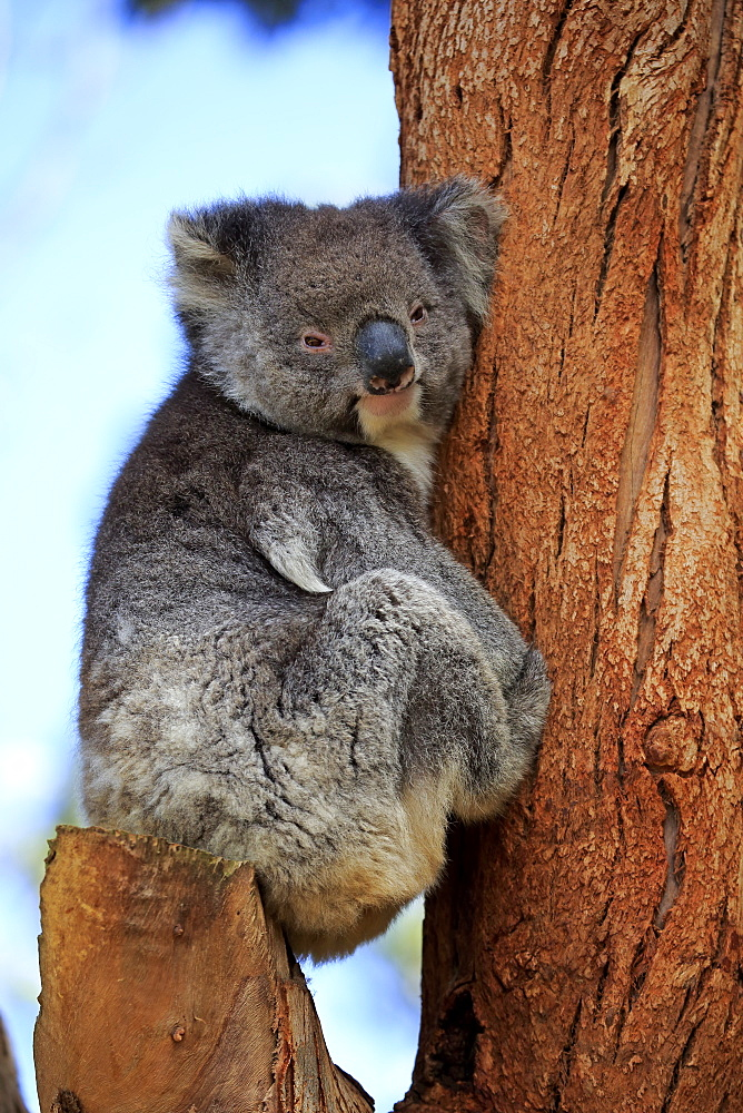 Koala, (Phascolarctos cinereus), adult on tree, Kangaroo Island, South Australia, Australia