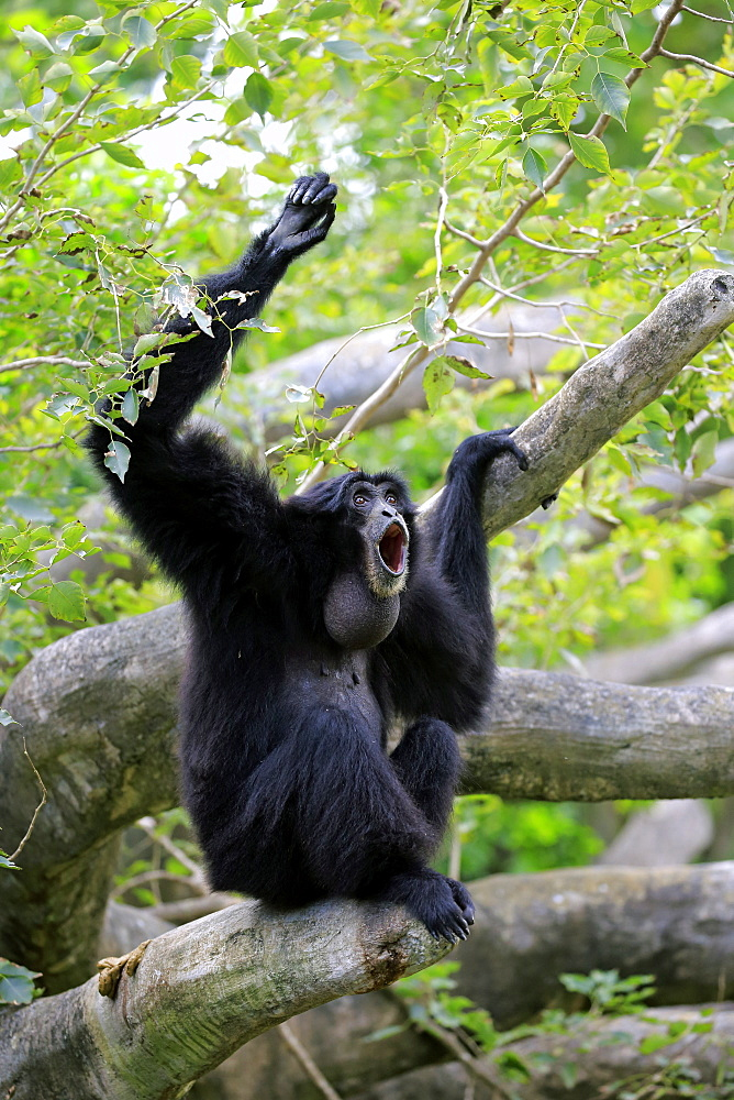 Siamang, (Symphalangus syndactylus), adult calling, captive, Southeast Asia