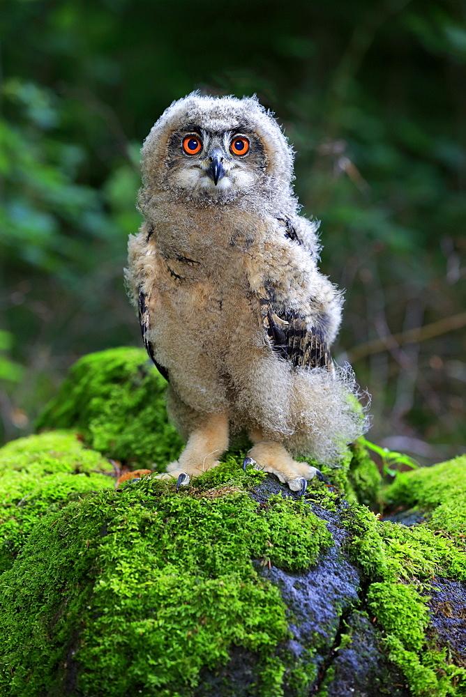 Eagle Owl, (Bubo bubo), young on rock, Pelm, Kasselburg, Eifel, Germany, Europe