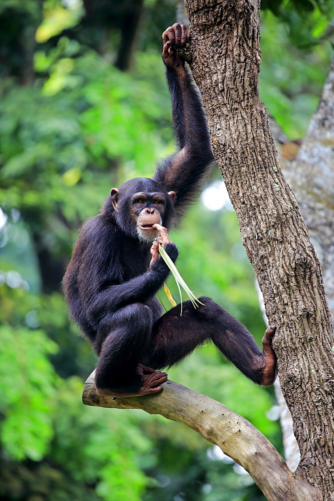 Chimpanzee, (Pan troglodytes troglodytes), subadult on tree feeding, Africa