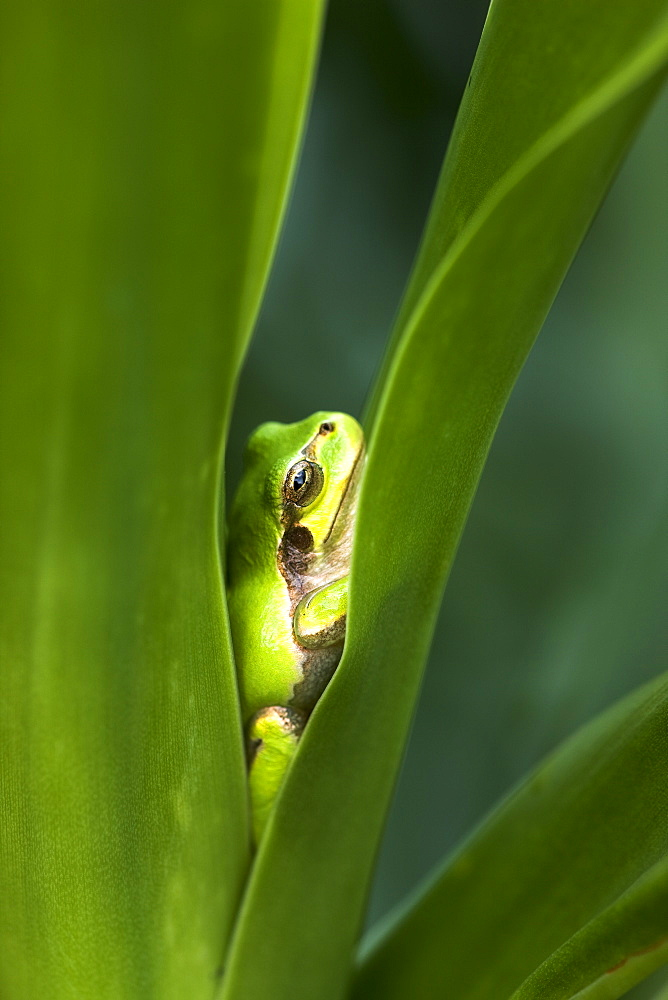 Japanese Tree Frog, Tochigi, Japan