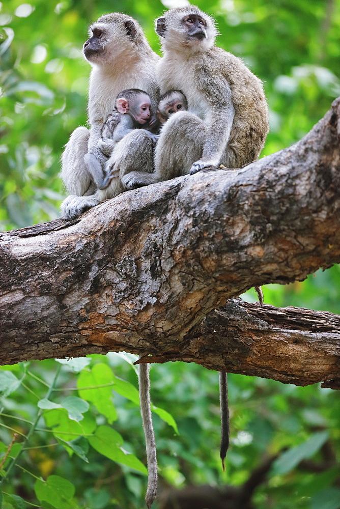 Green Monkeys
