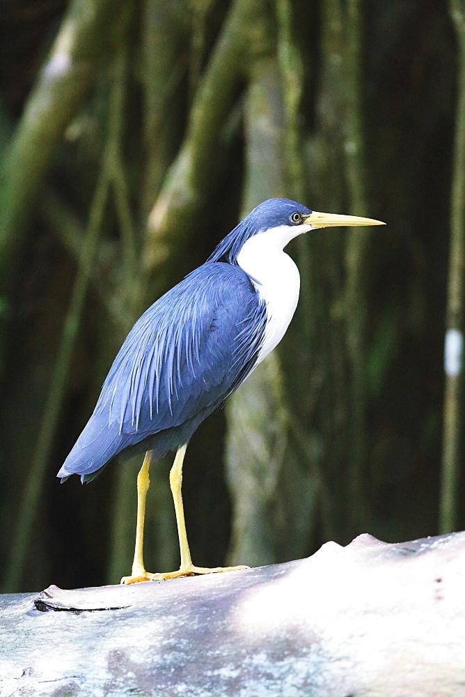 Bird, Australia
