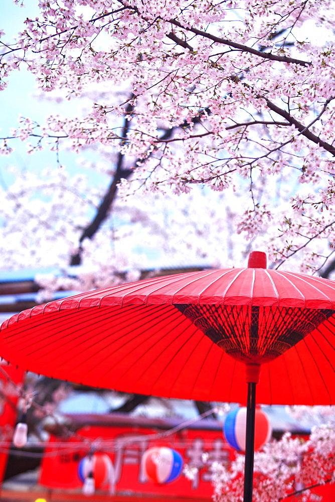 Cherry Blossom At Hirano Shrine, Kyoto, Japan