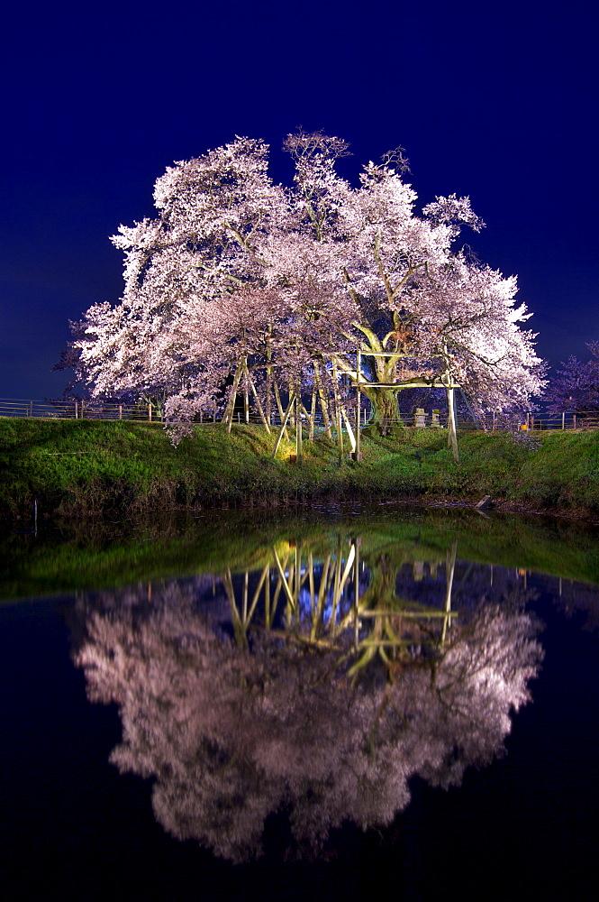 Cherry Blossom, Kurume, Fukuoka Prefecture, Japan