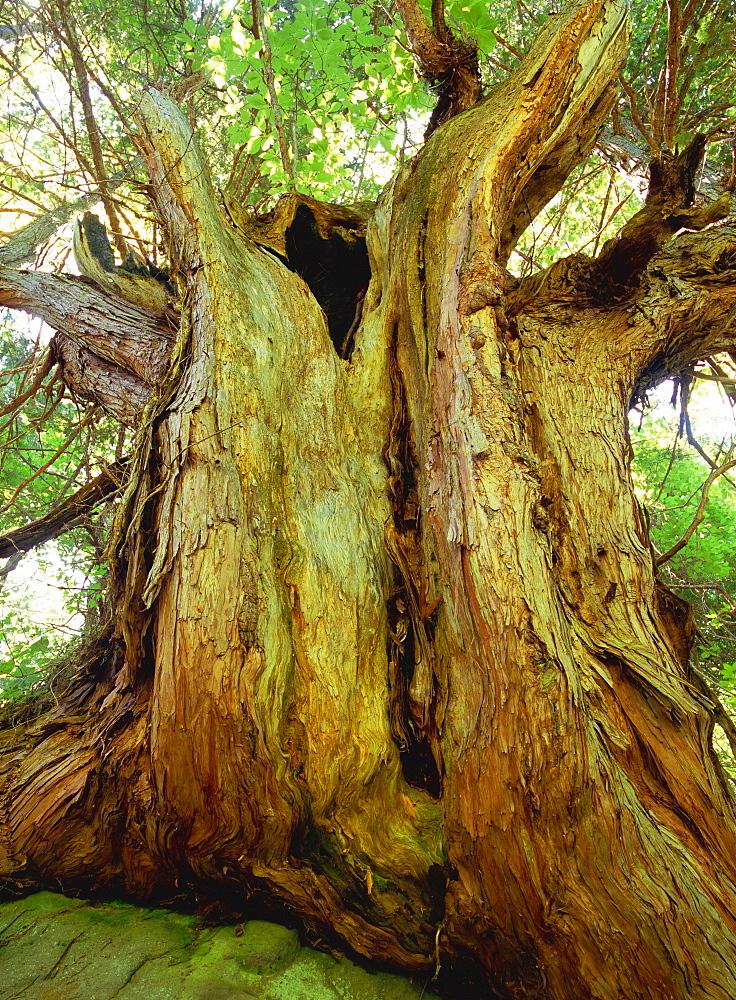 Japanese Cypress, Nagano, Japan