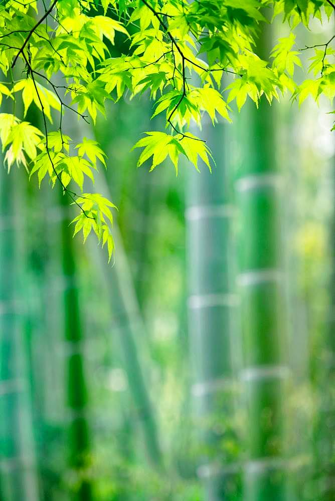 Sagano Bamboo Forest, Kyoto, Japan