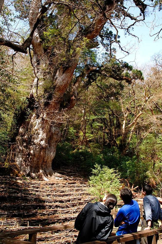 Joumon Cedar Tree, Kagoshima Prefecture, Yakushima, Kagoshima Prefecture