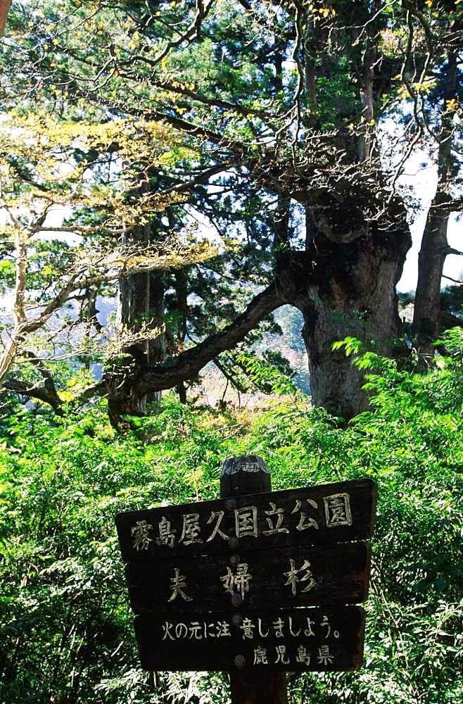 Yakushima Husband and Wife Cedar Tree, Yakushima, Kagoshima Prefecture
