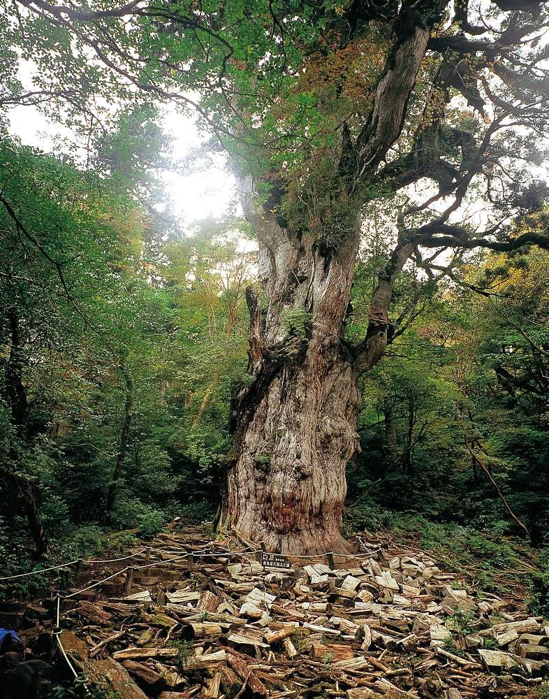 Joumon Cedar Tree, Yakushima, Kagoshima Prefecture