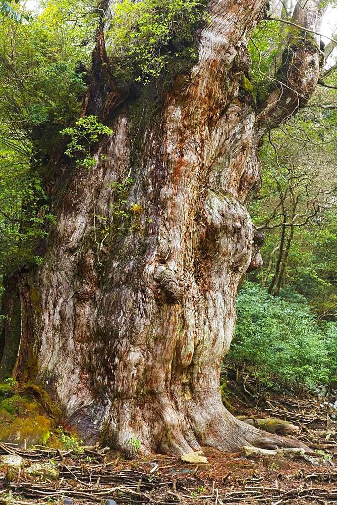 Jumon Cedar Tree, Yakushima, Kagoshima Prefecture