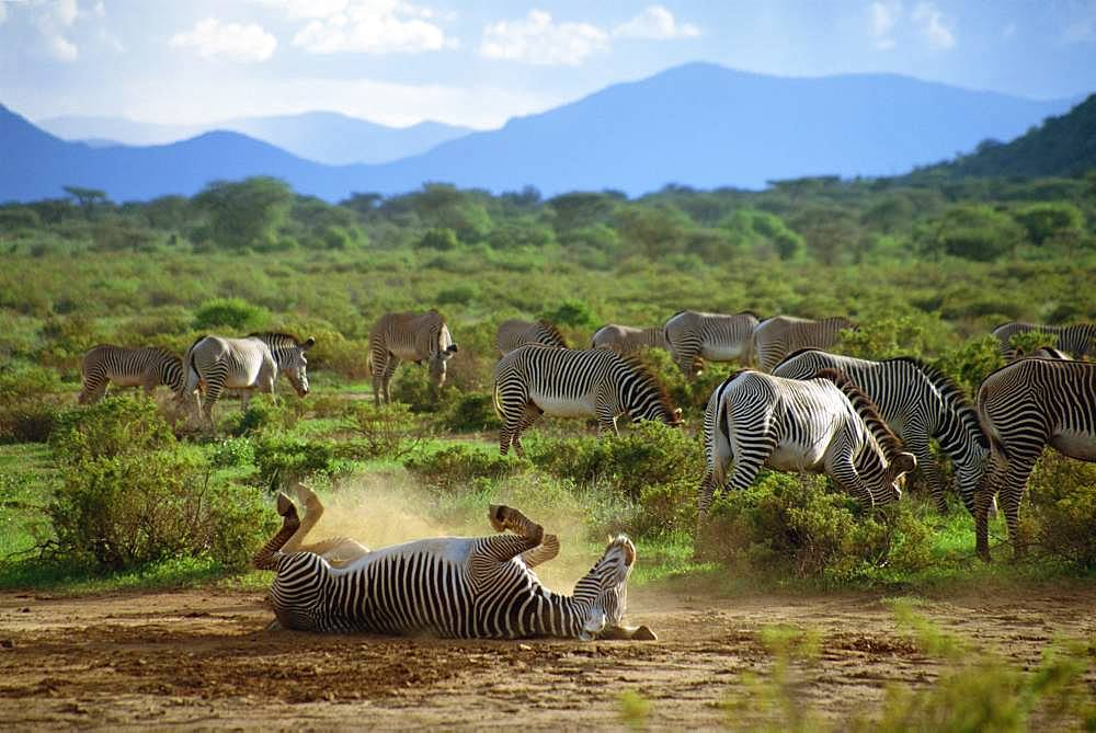 Gravy's Zebra,