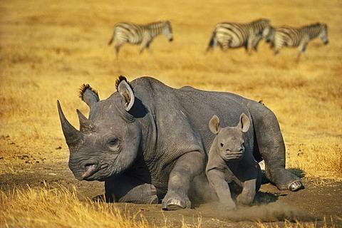 Black rhinoceros mother with calf, Diceros bicornis, Ngorongoro Conservation Area, Tanzania