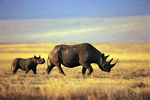 Black rhinoceros and calf, Diceros bicornis, Ngorongoro Conservation Area, Tanzania