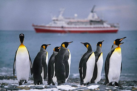 King penguins, Aptenodytes patagonicus, looking out over the water. Cruise ship moored off South Georgia Island