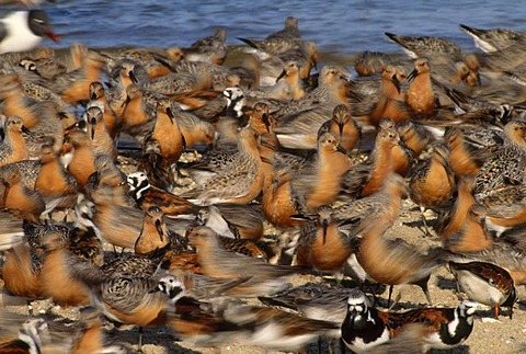 Red knots, Calidris canutus, and ruddy turnstones, Arenaria interpres, birds on the shore at Delaware Bay, New Jersey