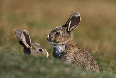 Rabbits, Lepus sp, in the Falkland Islands