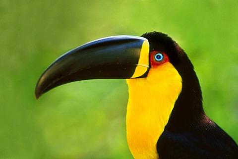 Aerial toucan, Ramphastos vitellinus ariel, Iguacu National Park, Brazil