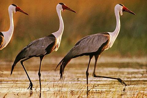 Wattled cranes, Bugeranus carunculatus, Okavango Delta, Botswana