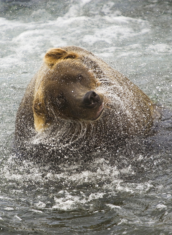 A brown bear shakes off excess water after fishing in Katmai National Park, Katmai National Park, Alaska, USA