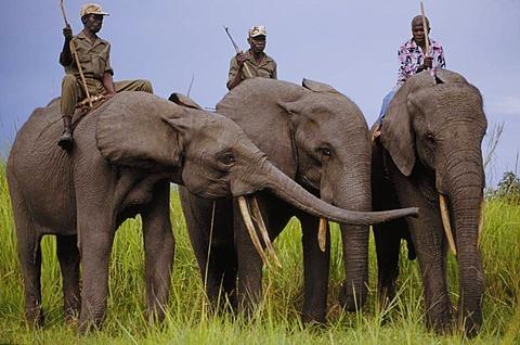 Domesticated elephants at Garamba National Park's elephant training school, Congo, DRC, Democratic Republic of the Congo
