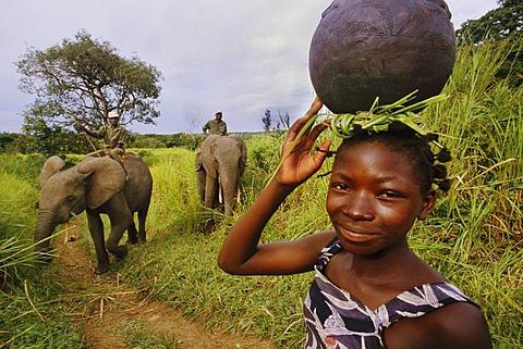 Domesticated elephants near Garamba National Park, Congo, DRC, Democratic Republic of the Congo