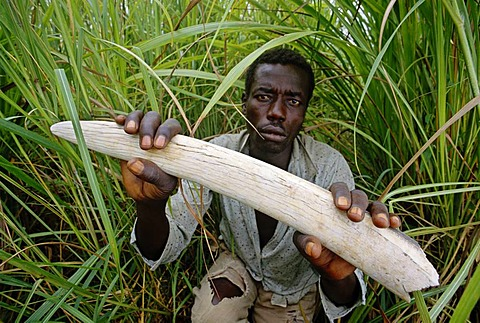 Park ranger with confiscated elephant tusk, Garamba National Park, Congo, DRC, Democratic Republic of the Congo