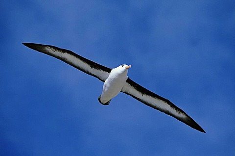 Black-browed albatross in flight, Thalassarche melanophrys, South Georgia Island