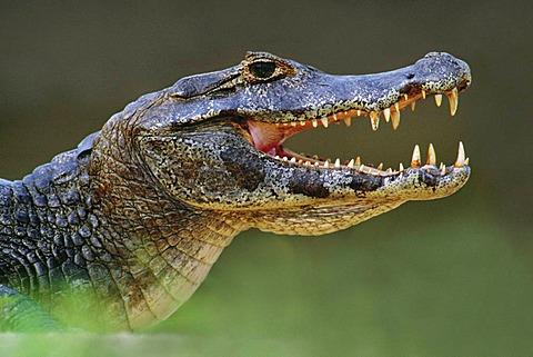Paraguay caiman thermoregulating, Caiman yacare, Pantanal, Brazil