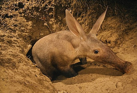 Aardvark emerging from burrow caught by camera trap, Orycteropus afer, Luangwa Valley, Zambia