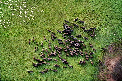 Cape buffaloes, Syncerus caffer, and Cattle egrets, Bubulcus ibis (aerial) Bangweulu Swamp, Zambia