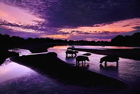Hippos at dawn, Hippopotamus amphibius, Luangwa River, Zambia