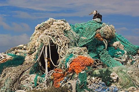 Laysan albatross sitting on top of fishing nets and other marine debris, Phoebastria immutabilis, Midway Atoll, Hawaiian Leeward Islands