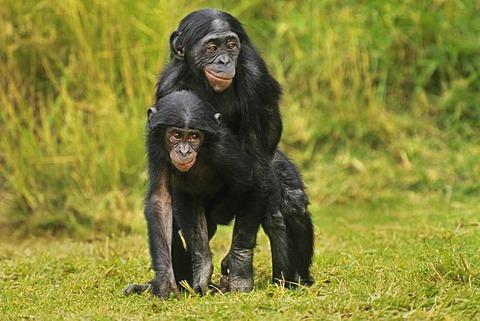 Bonobo juveniles copulating, Pan paniscus, native to Congo, DRC, Democratic Republic of the Congo