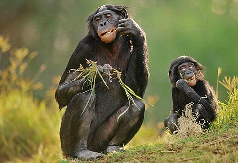 Bonobos eating grass roots, Native to Congo, DRC, Democratic Republic of the Congo