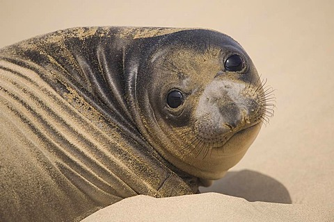 Northern elephant seal pup, Mirounga angustirostris, Ano Nuevo State Reserve, California