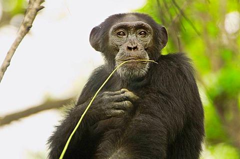 Chimpanzee, Pan Troglodytes verus in Senegal