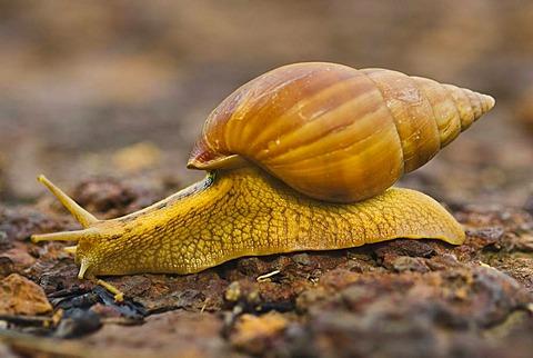 Land snails in Senegal. Fongoli.