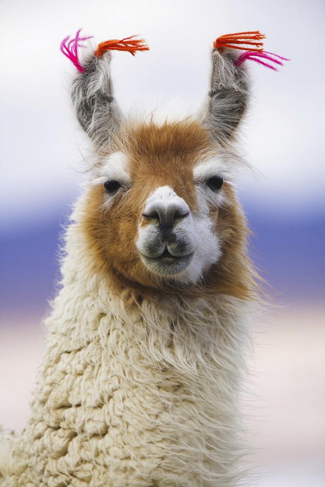 Llama, BoliviaBolivia - 1173-269