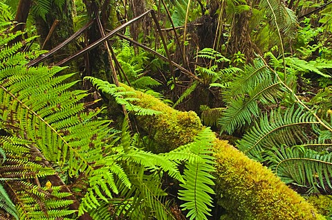 Ferns in forest, Hawaii Volcanoes National Park, Hawaii