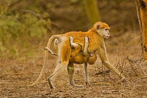 Patas monkey mother and young, Erythrocebus patas, Bandia Reserve, Senegal