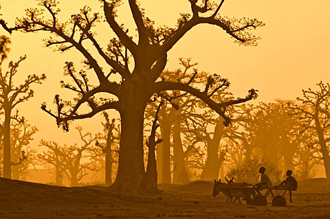 Donkey cart crossing baobab grove near Bandia Reserve, western Senegal