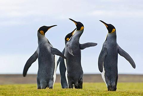 King penguins quarreling, Aptenodytes patagonicus, Falkland Islands