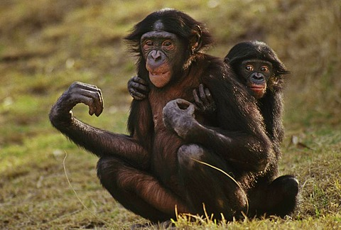Bonobo with young, Pan paniscus, Native to Congo, DRC, Democratic Republic of the Congo