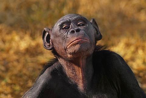 Bonobo female, Pan paniscus, Native to Congo, DRC, Democratic Republic of the Congo